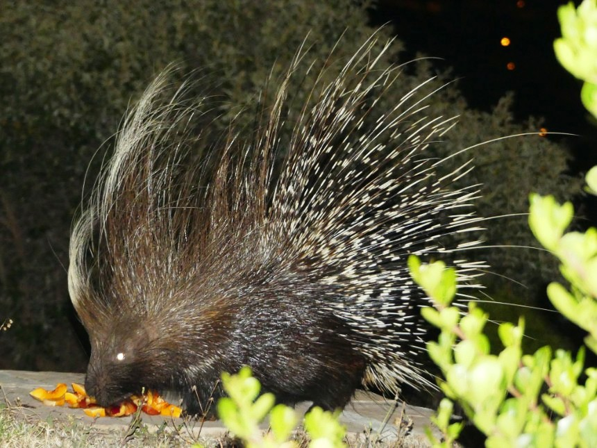 Days 10 & 11: Porcupines and Ostrich for Christmas!
